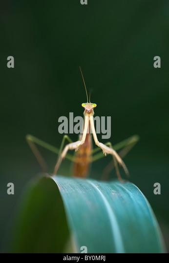 Praying mantis in India - Stock-Bilder