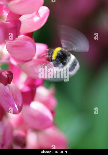 A bumblebee photographed in flight about to alight on a Lupin.Like a duchess in a fur coat it was fanning to keep - Stock Image