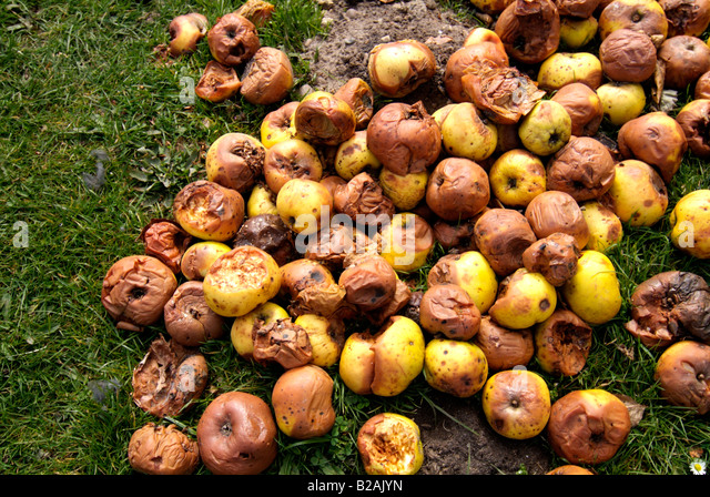 pile of rotting apple windfalls - Stock Image