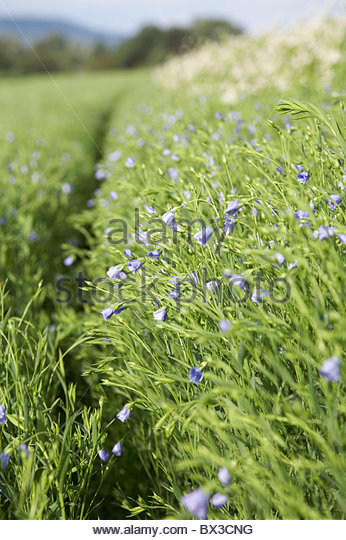 linseed field - Stock Image