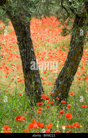 Poppies Olive trees Olive grove wild flowers bark spring springtime Travel red green nature earth tones poppy - Stock-Bilder