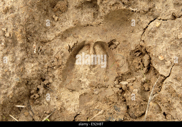 Sheep hoof print - Ovis aries - Stock Image