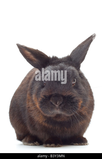 A black dwarf rabbit in a studio. - Stock Image