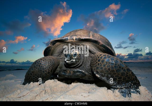 Giant tortoise (Geochelone gigantea). Vulnerable species. Dist. Seychelles islands. - Stock Image