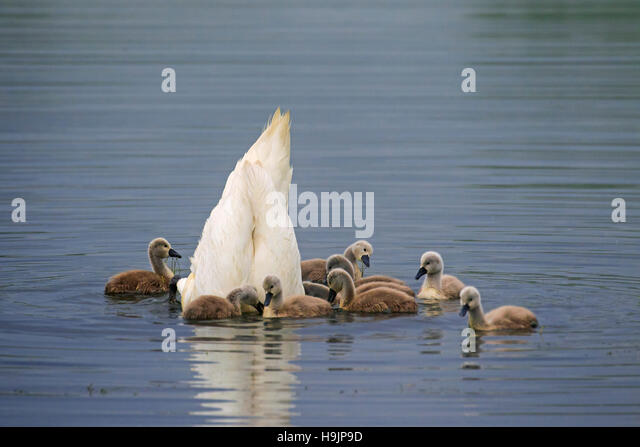 Mute swan (Cygnus olor) feeding upside down with young / cygnets in lake in spring - Stock Image