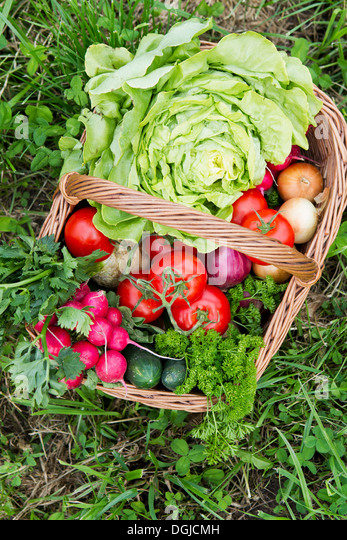 Basket of fresh vegetables in allotment - Stock Image