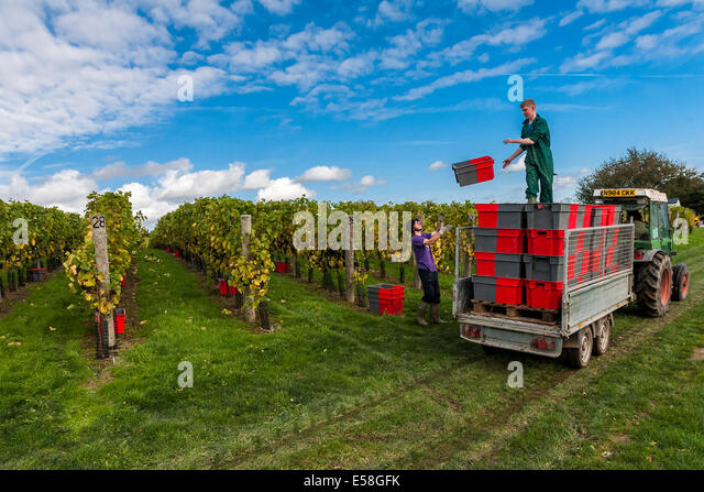 At the Redfold Vineyard in Sussex time is short as the harvest has to be completed while the grapes are in peak - Stock Image