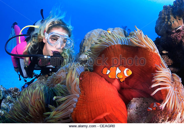 Ocellaris Clownfish (Amphiprion ocellaris), Great Barrier Reef - Stock Image
