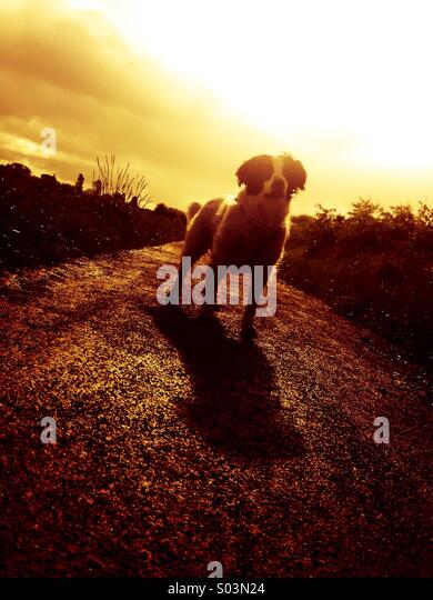 Dog at dusk - Stock Image
