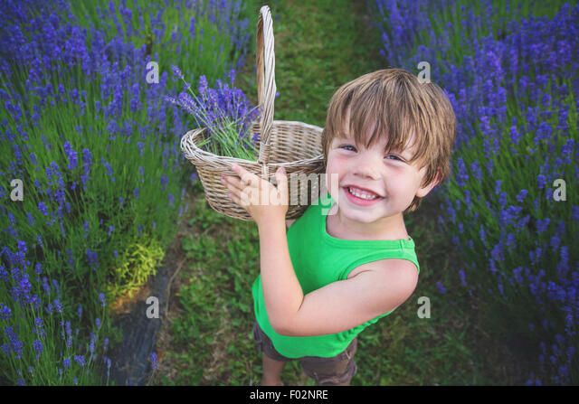Boy picking lavender in lavender field - Stock Image