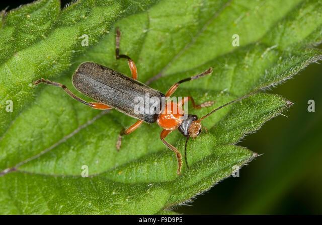 cantharidae stock photos amp cantharidae stock images alamy