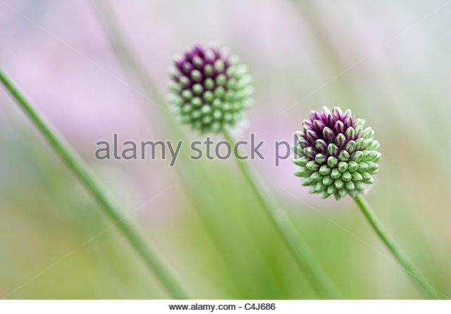 Allium Phanerantherum 'Deciduum' flowerheads before the flowers open - Stock Image