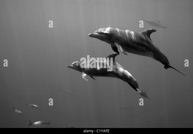 A pair of dolphins swims by at the Dos Amigos Grande dive site near the Cocos Island off the coast of Costa Rica. - Stock-Bilder