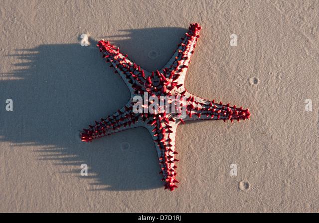 Starfish, Inhassoro, Mozambique - Stock Image