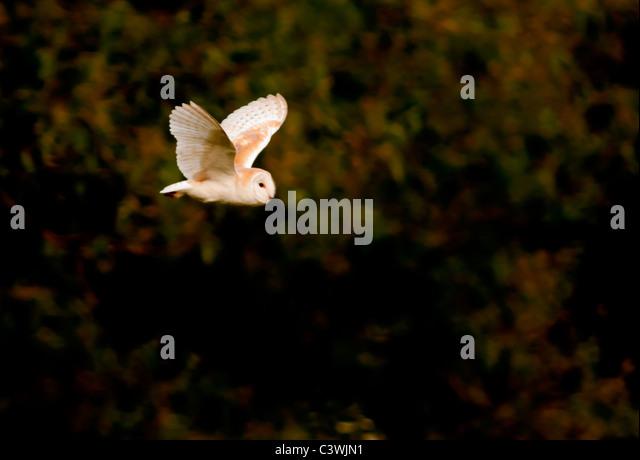 Barn Owl (Tyto Alba) hunting for prey, Warwickshire - Stock Image