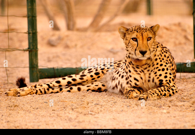 Cheetah (Acinonyx jubatus soemmerring), in a vivarium, Sir Bani Yas Island, Abu Dhabi, United Arab Emirates, Arabia, - Stock Image