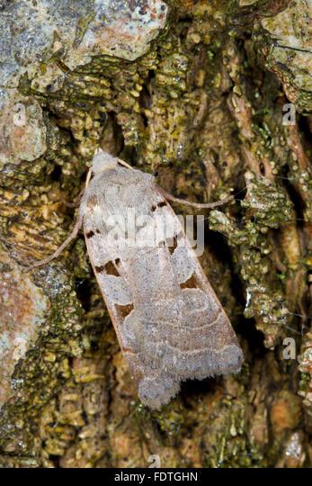Autumnal Rustic (Eugnorisma glareosa) adult moth resting on tree bark. Powys, Wales. September. - Stock Image