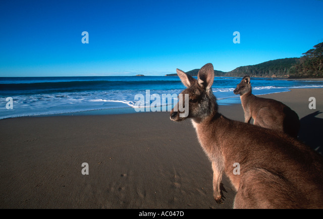 Eastern Grey Kangaroo Macropus giganteus On the beach Australia - Stock Image