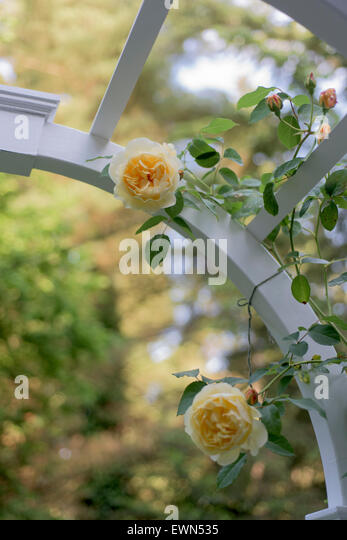 Rosa Graham Thomas, a yellow David Austin rose on a garden arbor - Stock Image