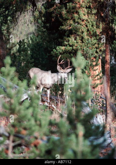 An eight point mule deer buck peers through pines in Yellowstone National Park Wyoming COPYRIGHT DUANE BURLESON - Stock Image