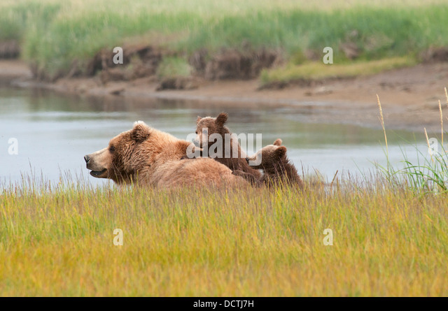 A Brown Grizzly Bear (Ursus Arctos Horribilis) With Her Two Cubs; Alaska, United States Of America - Stock-Bilder