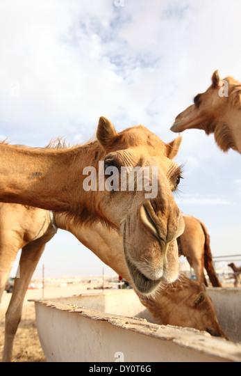 Al Wathba Camel racing, track, camels, desert, Abu Dhabi, United Arab Emirates - Stock Image