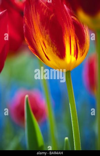 Tulip triumph 'yomako' flower abstract at Keukenhof gardens - Stock-Bilder