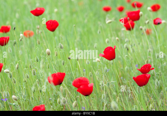 Field Poppy Papaver rhoeas Lesvos Island Greece - Stock Image