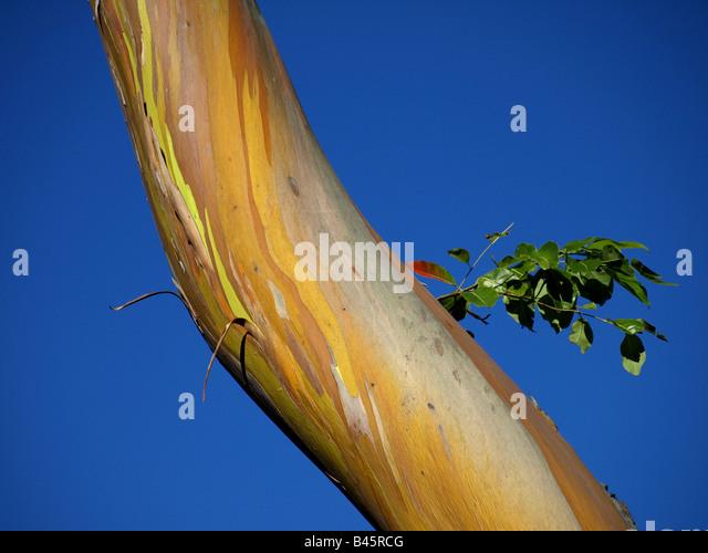 Eucalyptus Deglupta Stock Photos & Eucalyptus Deglupta