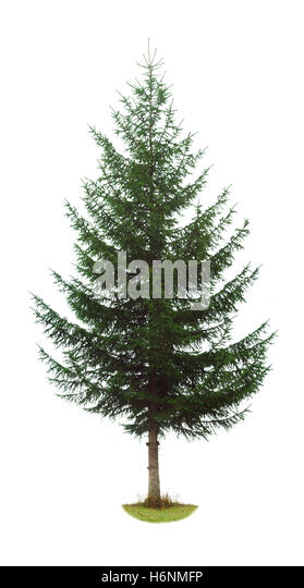 Abies cut out stock images pictures alamy