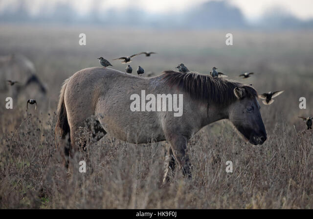Konik Pony (Equus ferus caballus) walking with Starlings on its back Burwell Fen  Cambridgeshire UK November 2016 - Stock-Bilder