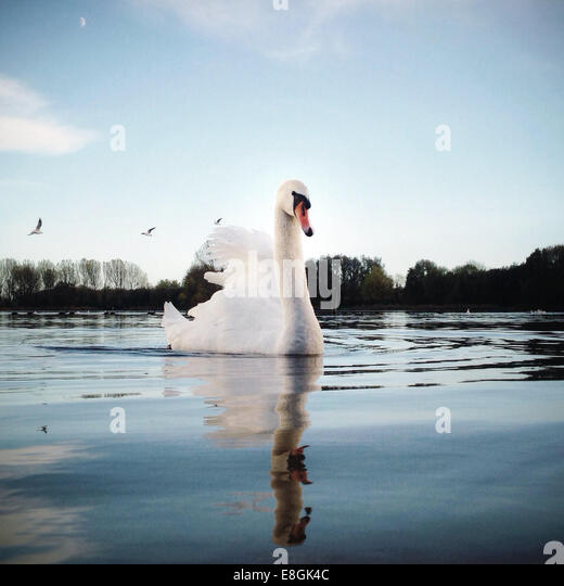 Portrait of swan swimming on lake - Stock Image