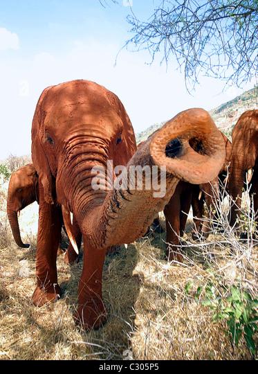 ELEPHANT REACHES OUT TSAVO NATIONAL PARK  KENYA. - Stock Image