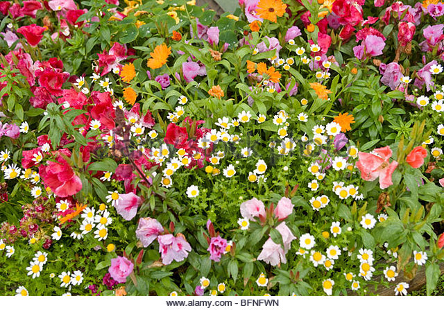 Colorful flowers at the Gustavus Inn at Gustavus, Alaska. - Stock Image