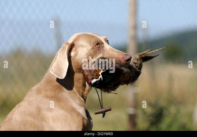 Weimaraner sitting with a pheasant dummy caught in its mouth - Stock Image