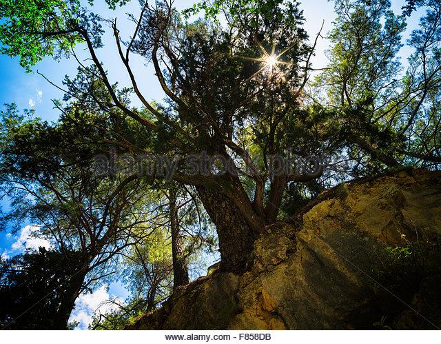 Gigantic vivid tree sun perspective background - Stock Image