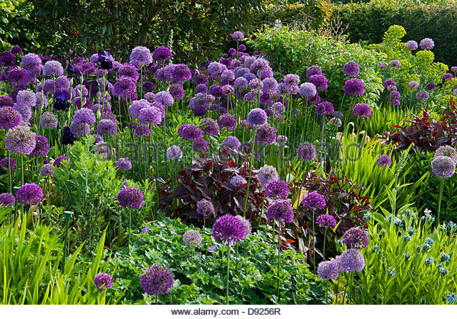 allium giganteum stock photos allium giganteum stock images alamy. Black Bedroom Furniture Sets. Home Design Ideas