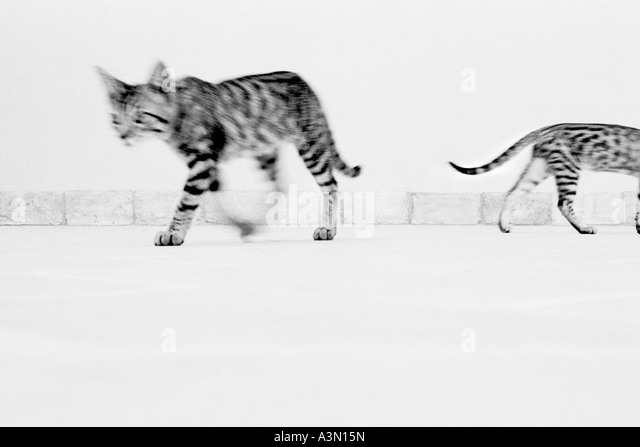 Walking cats - Stock Image