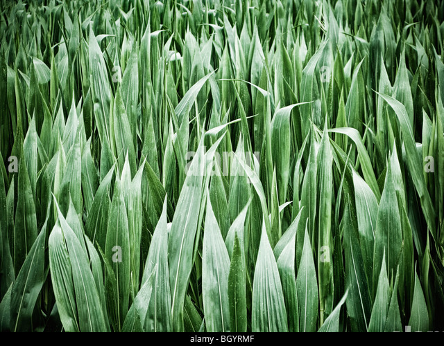 Maize crop leaves close up - Stock Image