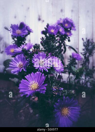 Purple aster flowers - Stock Image