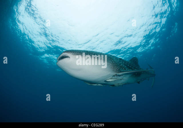 Whale Shark, Rhincodon typus, North Male Atoll, Indian Ocean, Maldives - Stock Image