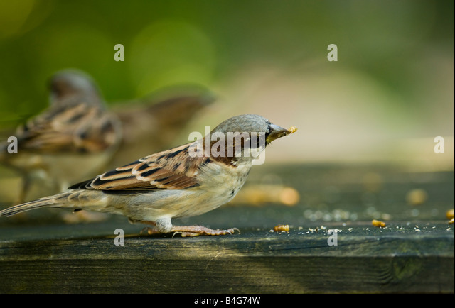 Red Listed Stock Photos amp Red Listed Stock Images Alamy : house sparrow passer domesticus on feed table b4g74w from www.alamy.com size 640 x 434 jpeg 54kB