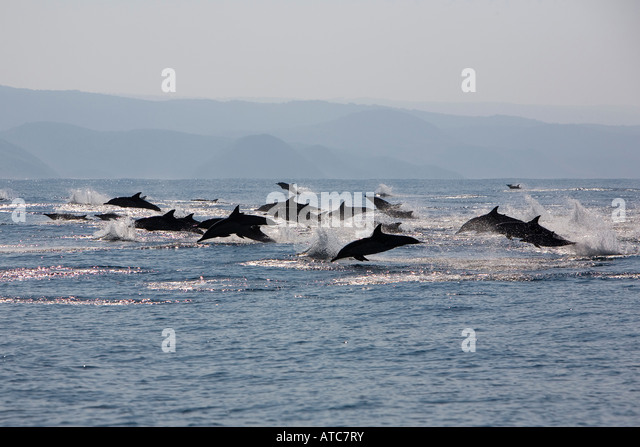 long beaked common dolphins Delphinus capensis Wild Coast Transkei Southeast Africa Indian Ocean Mozambique - Stock Image