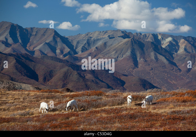Band of Dall rams graze on the Autumn colored tundra with the Alaska Range in background, Denali National Park, - Stock Image