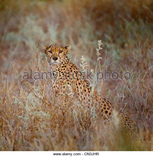 Cheetah, Kenya - Stock Image