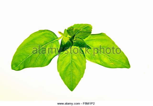 Fresh basil - Stock Image