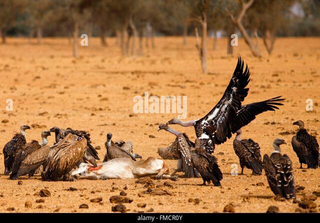 Senegal, Sahel, Ferlo region, Widou Thiengoly, vultures - Stock Image