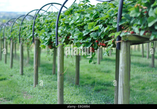 Rows of strawberry plants at strawberry farm - Stock Image