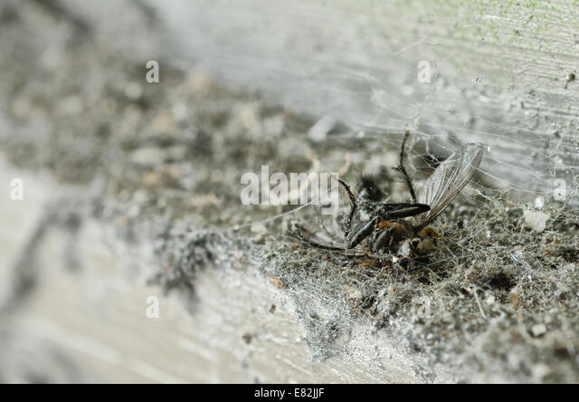 remains and decapitated dead fly Muscidae exoskeleton carcus body amongst mass of fine spider silken treads and - Stock Image