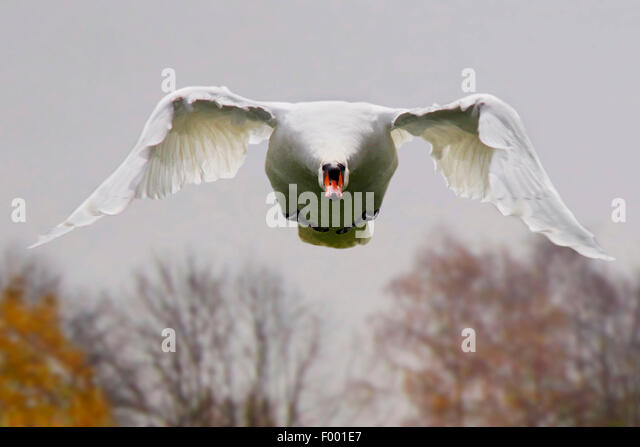 mute swan (Cygnus olor), in flight front view, Germany - Stock-Bilder